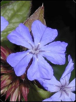 cerato esencia floral