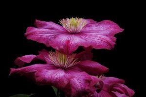 clematis flores de bach