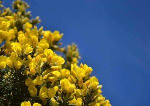 flores bach gorse