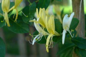 honeysuckle flores de bach