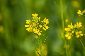 flores bach mustard