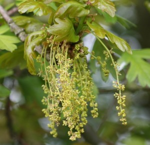 oak flores de bach