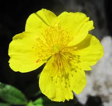flores de bach rock rose