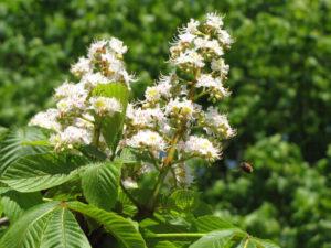flores bach white chestnut