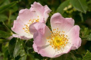 flores bach wild rose